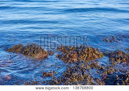 Seaweed with blue waves hitting the shore
