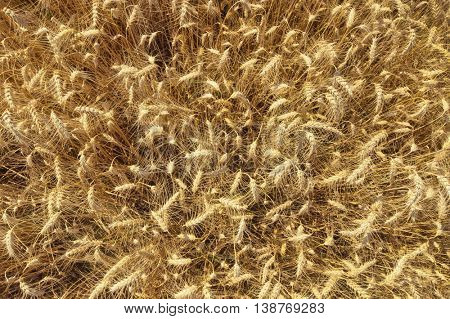 Photo of ripe wheat field from above