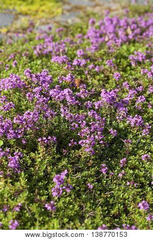 Thyme (Thymus vulgaris) plant growing in the herb garden