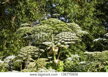 Heracleum Sosnowskyi or Sosnowsky's Hogweed, is a flowering plant. All parts of plant contain the intense toxic allergen furanocoumarin.