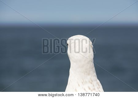 The head and the neck seagulls is seen from behind on a background of sea and sky in Kolobrzeg in Poland