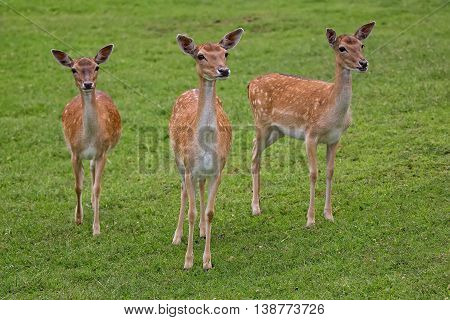 Fallow deers in a clearing in the wild