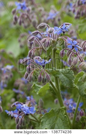 Borage flowers (Borago officinalis) in a summer garden.