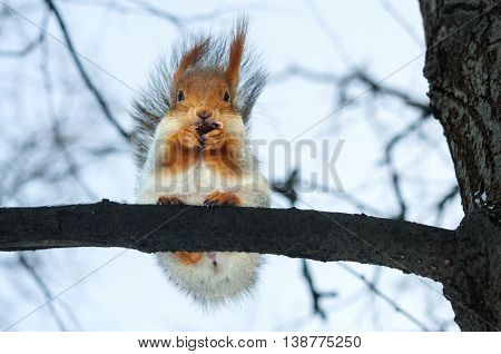 Furry gray squirrel on branch in winter
