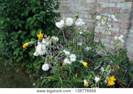 Seed heads and flowers of the field sow thistle (Sonchus arvensis), also called corn sow thistle, dindle,gutweed, swine thistle, tree sow thistle, and field milk thistle, against a brick wall in Shorewood, Illinois.