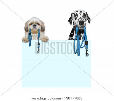 Two dogs want to go for a walk -- isolated on white