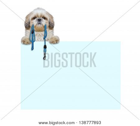 Cute dog is holding the leash in its mouth -- isolated on white next to the frame