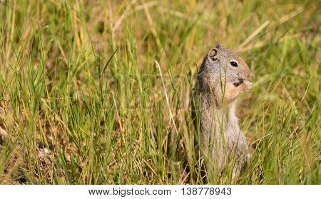A lone Prairie Dog stands eatingadmidst tall grass in the early morning