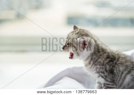 Close up of cute tabby kitten sitting and smile on white pillow pet bed.