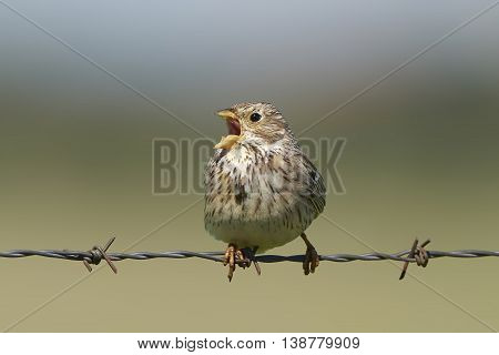 Corn bunting (Emberiza calandra) sitting on a barb wire singing