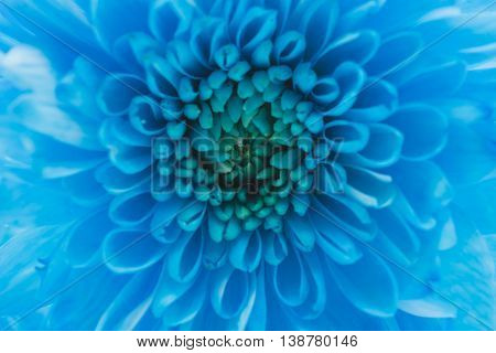 bouquet of blue daisy flower navy blue daisy flower macro on white; isolate background text word on background daisy flower beautiful daisy lovely daisy pretty daisy fresh daisy