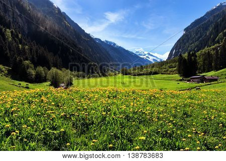 Idyllic mountain landscape in the Alps with yellow flowers and green meadows. Stilluptal Austria Tyrol.