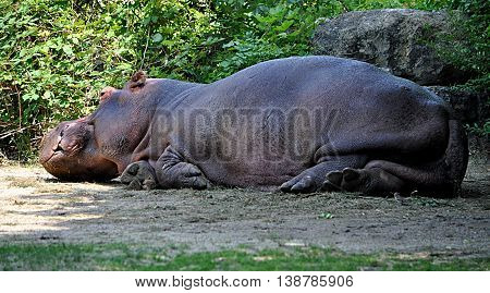 look at exotic animals in nature - Hippo