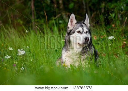 one dog breed alaskan malamute lying in the grass and flowers, forest in the background