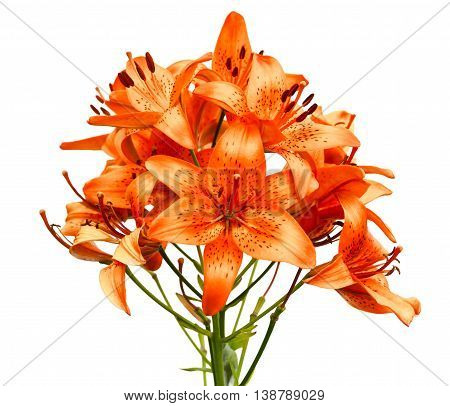 Orange lily flowers isolated  on  white background.