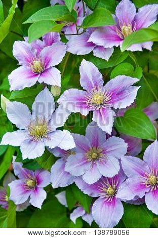 Purple clematis flowers on a natural background