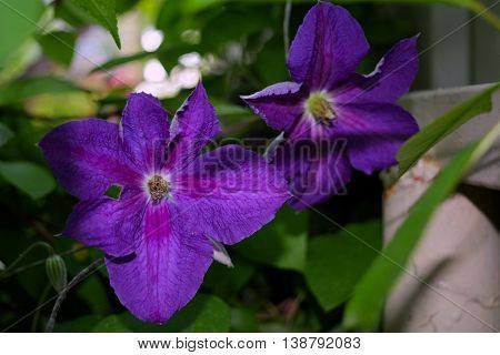 Beautiful purple flowers bloom the plant clematis