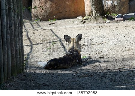 An African painted dog (Lycaon pictus) sits and relaxes.