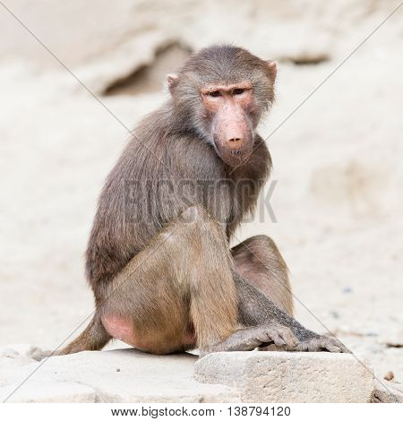 Female Macaque Monkey