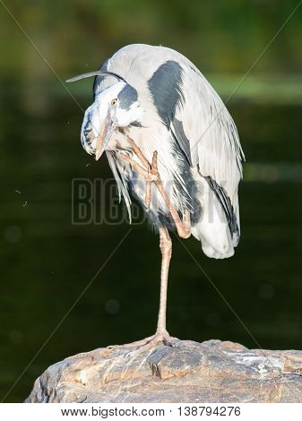 Great Blue Heron Standing Quietly