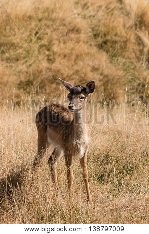 close up of watchful red deer fawn