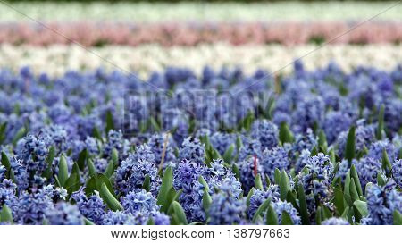 Fields of Blooming Hyacinth Flowers. Beautiful hyacinth flower fields in Netherlands.