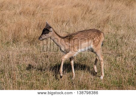 closeup of red deer fawn on grassy meadow
