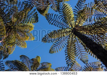 gigantic silver fern trees against blue sky