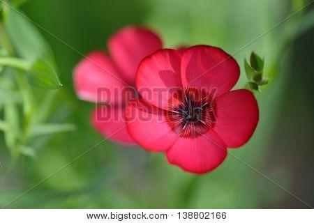 Red Flax Flowers, Linum Usitatissimum