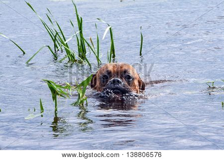 the young dog breed the german boxer floats on water, only the wet muzzle is visible