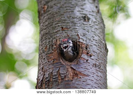 Chick woodpecker looks from a hollow. Birds