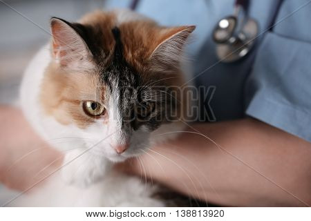 Young female doctor Veterinary with a three color cat on arms. medical equipment on background.