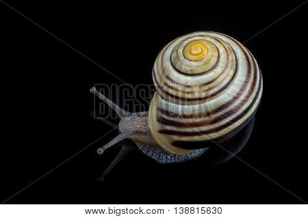 Small snail isolated on a black background