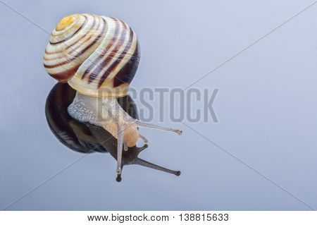 Small snail isolated on a grey background