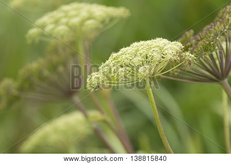A close up of Queen Anne's Lace commonlt known as wild carrots.