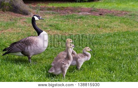 Canada Goose - Branta canadensis with family between grass