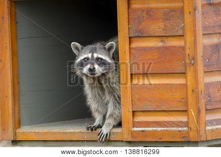 Raccoon in feeding box along the seawall at westhaven cove in Westport Washington.