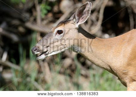 White-tailed Deer (Odocoileus virginianus) doe with a greenl background