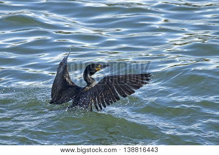 Cormorant in the water at Westhaven Cove in Westport Washington.