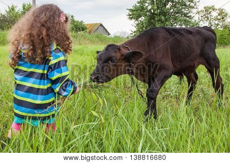 Baby girl feed the calf fresh grass