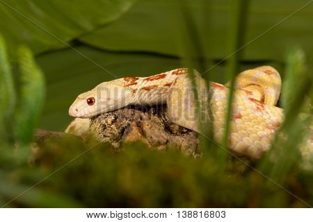 Yellow albino bullsnake hiding in high moss