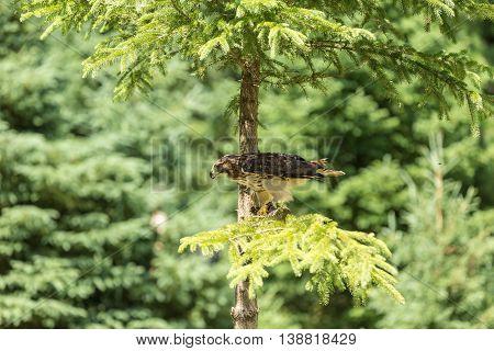 A lone hawk in a summer tree