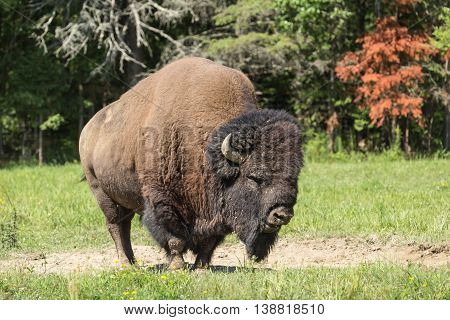 A large American Field Buffalo in a summer setting