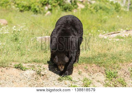 A large, big black bear in summer