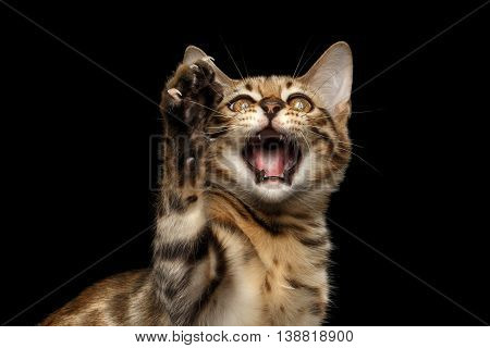 Closeup Playful Bengal Kitty, Funny opened mouth and raising up paw Isolated on Black Background, Front view, High five