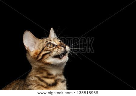 Closeup Portrait of Bengal Kitty Head, Curious Looking up Isolated Black Background, Side view