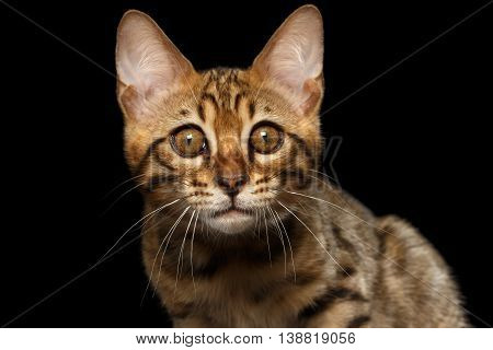 Closeup Portrait of Bengal male Kitty, stares Looks in Camera Isolated on Black Background, Front view, Beautiful eyes
