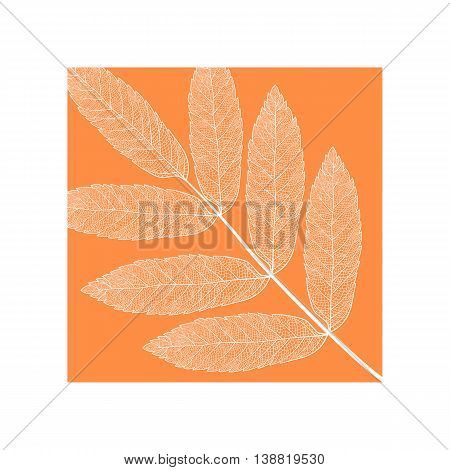 Vector skeletonized rowan leaf. The graphic element may be used as a design background, business cards, postcards, etc.