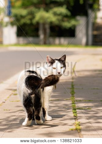 Adult white and black cat walking in the street on the roadside
