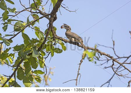 Indian Grey Hornbill Eating in a Tree in Bandhavgarh National Park in India